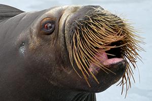walrus3